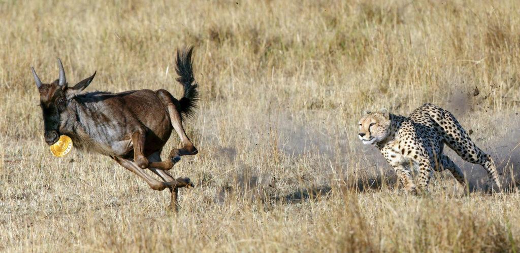 Mussiara Cheetah chasing a wildebeest